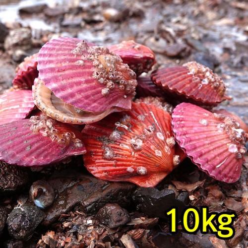 꽃가리비(통영산) 10kg*무료배송*