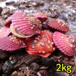 꽃가리비(통영산) 2kg